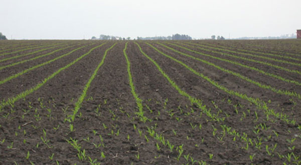 corn-seedling